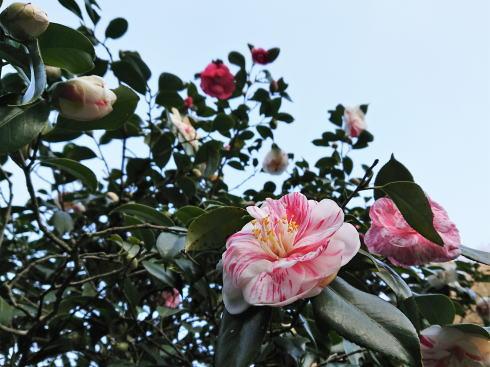 広島県福山市 平家谷つばき園 画像13