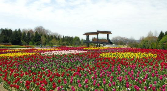 チューリップが満開で見頃!庄原で春の開花リレー、体験イベントも