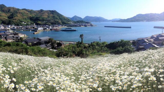 尾道いんのしま除虫菊まつり、この時期だけの真っ白な花畑を