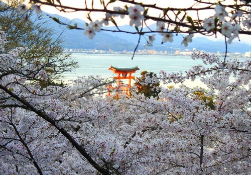 宮島の桜が満開、多宝塔 周辺の景色が美しい夕暮れの風景