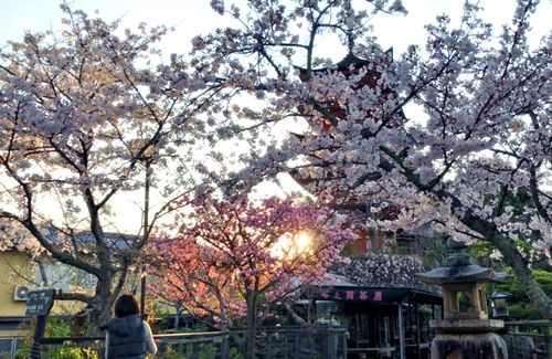 宮島、五重塔と桜2
