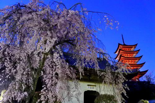 宮島の夜桜はオススメしません
