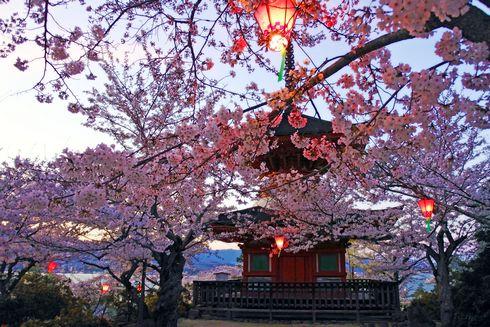 夕暮れ時の宮島 多宝塔の桜