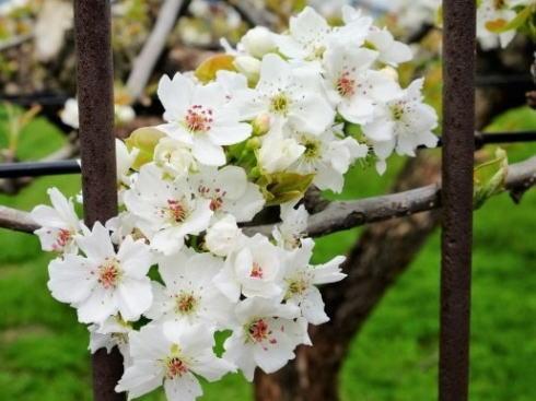 梨のお花見会、世羅大豊農園の丘 真っ白に染め