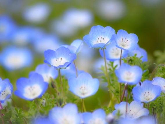 広島にネモフィラの丘、130万本の花5月中旬まで見ごろ