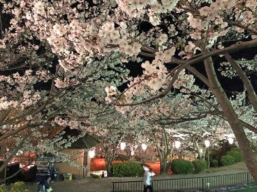 尾道 千光寺公園の夜桜ライトアップ