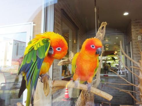 ことり日和、色とりどりの小鳥たちを眺め・触れられるカフェが福山に