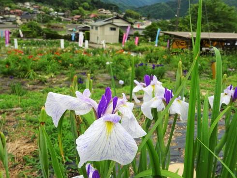 向原花しょうぶまつり、のどかな風景に映える初夏の花