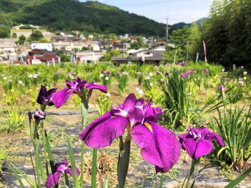向原花しょうぶ園 菖蒲 写真1