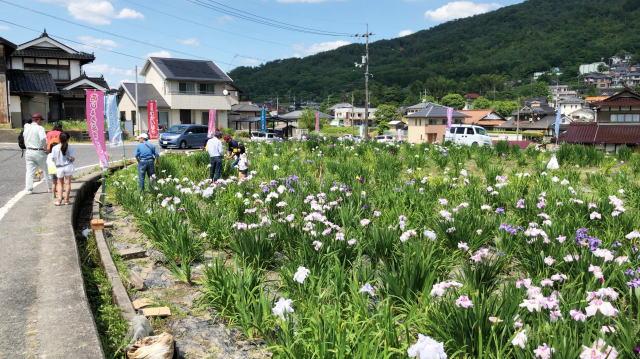 向原花しょうぶ園、安芸高田市の「町の花」90種が鮮やかに
