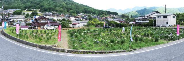 向原花しょうぶ園 菖蒲 写真5
