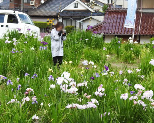 向原花しょうぶ園 菖蒲まつりの様子3