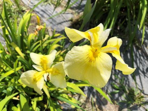 向原花しょうぶ園 菖蒲 写真4