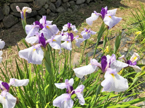 向原花しょうぶ園 菖蒲 写真2