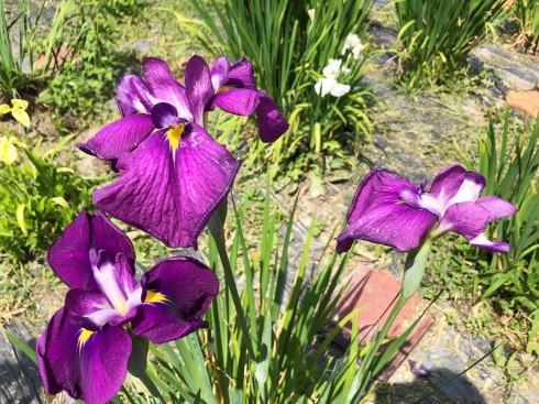 向原花しょうぶ園 菖蒲 写真3