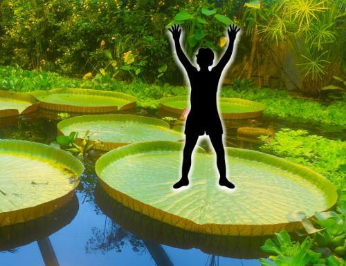2年ぶり!池の水面に立てる、オオオニバス試乗体験会開催