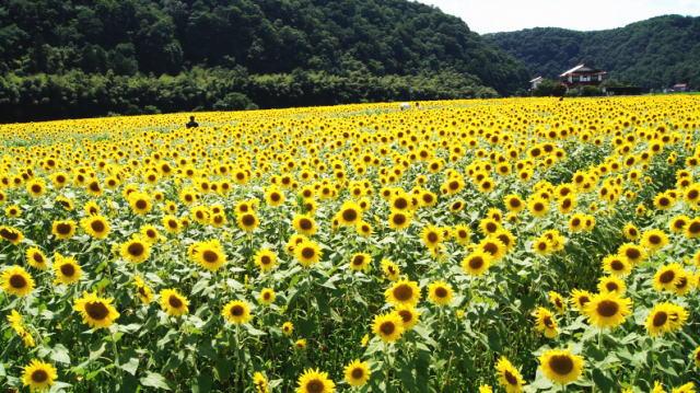三次市君田 ひまわりまつり2019、100万本咲き誇る圧巻の眺め