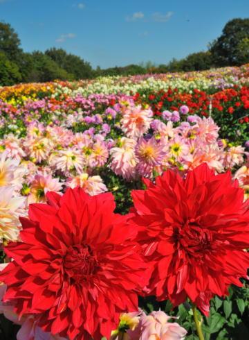 世羅高原農場 ダリア祭の写真