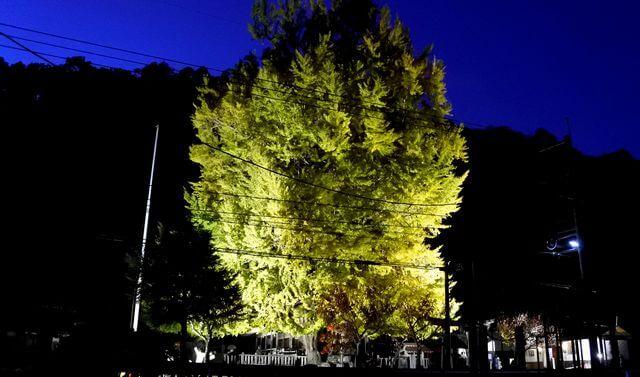 1000年超の大銀杏ライトアップ、筒賀の夜に浮かぶ