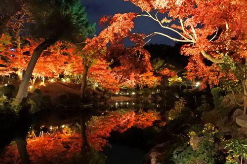 縮景園 もみじまつり、美しすぎる紅葉ライトアップ