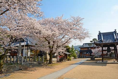 宝土寺の桜01