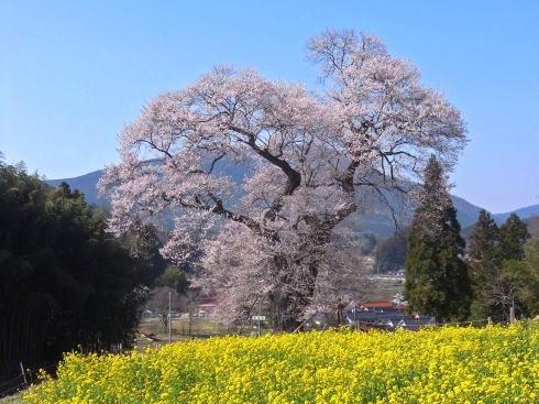 庄原花たびキャンペーン 写真6 小奴可の要害桜