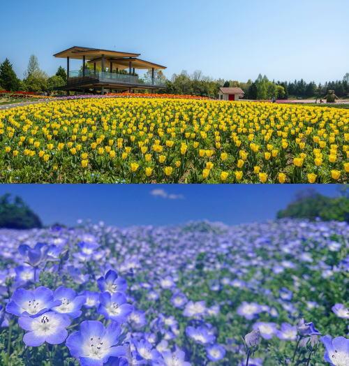 庄原花たびキャンペーン 写真2 備北丘陵公園