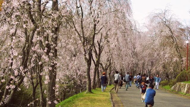 美しきシダレザクラの並木道、世羅甲山ふれあいの里 桜まつり2020
