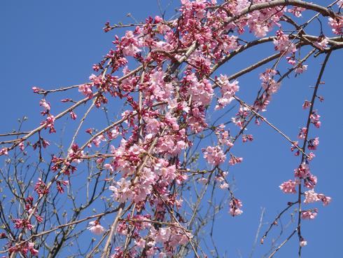 黄金山の展望台リニューアル、枝垂桜は見頃