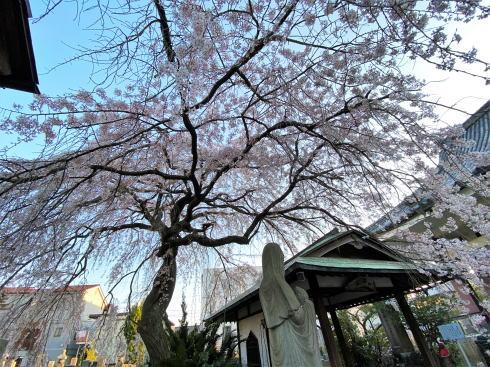福山市 通安寺のシダレザクラ 画像4