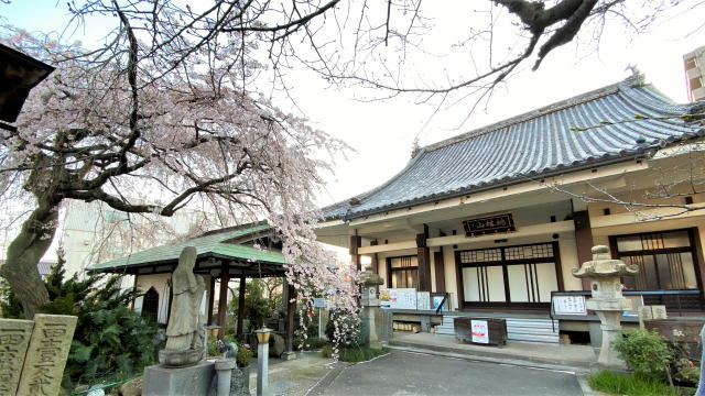 福山市 通安寺のシダレザクラ 画像5