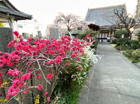 福山市 通安寺のシダレザクラ 画像3