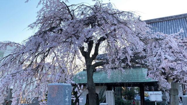 福山市 通安寺のシダレザクラ、見ごろ一足早く