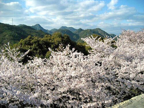 大竹市 亀居公園の桜が満開