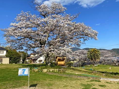 宮浜温泉グラウンドゴルフ場の桜が満開