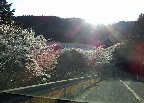 野呂山さざなみスカイラインで桜が満開