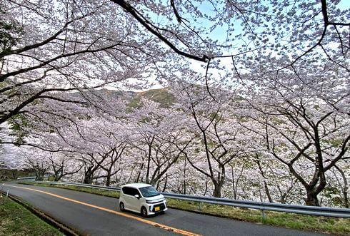 野呂山さざなみスカイライン、2020年の桜見頃に
