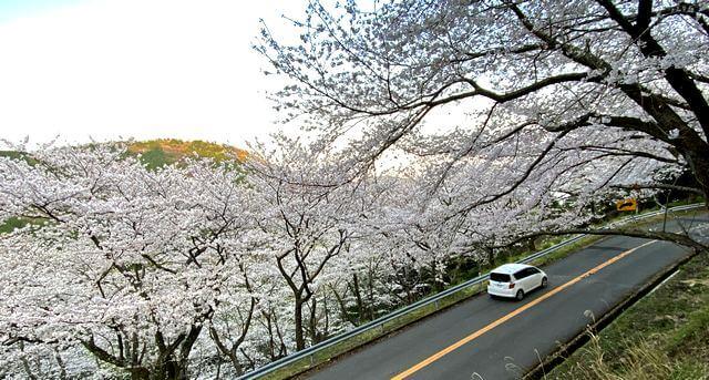 野呂山「さざなみスカイライン」で桜が満開