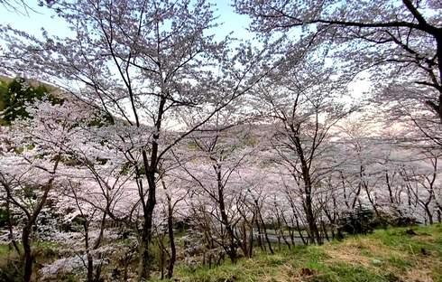 野呂山さざなみスカイライン、桜が満開で見頃へ