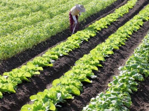 モスファーム広島、安芸高田市に8.5haのレタス畑を設立