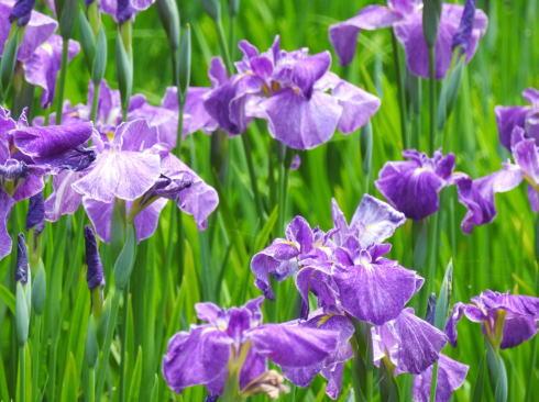 ハナショウブ・アジサイまつり、広島市植物公園の美しい花で癒されて
