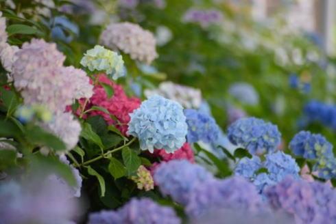 ハナショウブ・アジサイまつり、広島市植物公園 イメージ