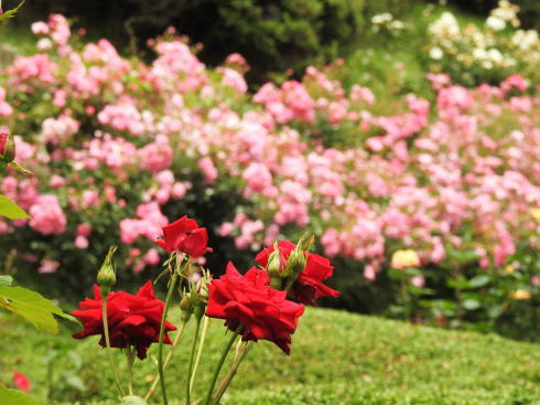 牛田バラ園、広島の街なかに穴場の花園