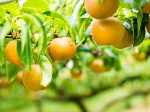 梨狩り・ぶどう狩り中止、世羅大豊農園が発表