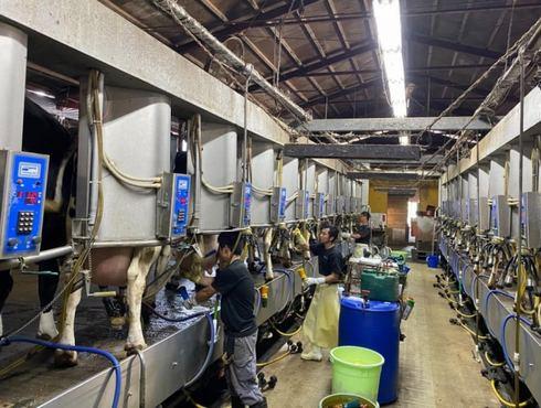 ミルキングパーラー、搾乳を半自動化