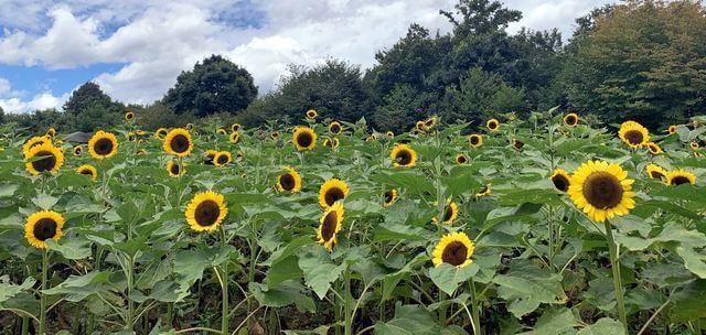 広島県北で「ひまわり・ヒコダイ」など夏の花 咲き始め、無料の切り花体験も