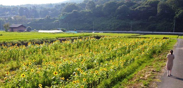 吉和ひまわり畑(広島県廿日市市)