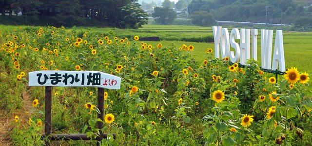 吉和ひまわり畑、夏まつりでは摘み取りも