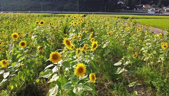 吉和ひまわり畑の風景
