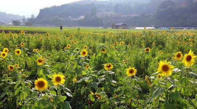 吉和ひまわり畑 約3万本のひまわりが広島県廿日市市吉和で